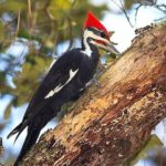 pileated_woodpecker_marcussharpe